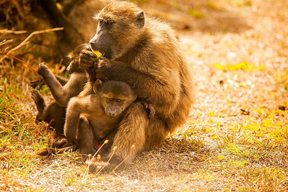 Wild baboons, Cape Town, South Africa, Africa
