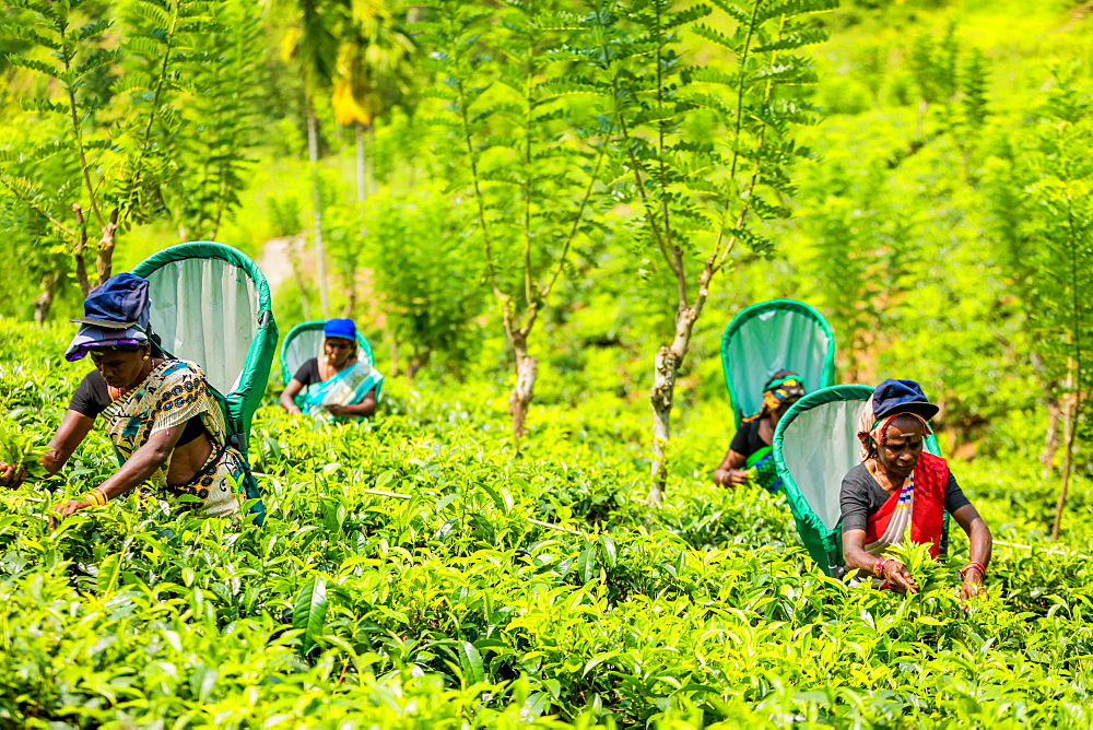 Tea workers in tea country in Sri Lanka, Asia