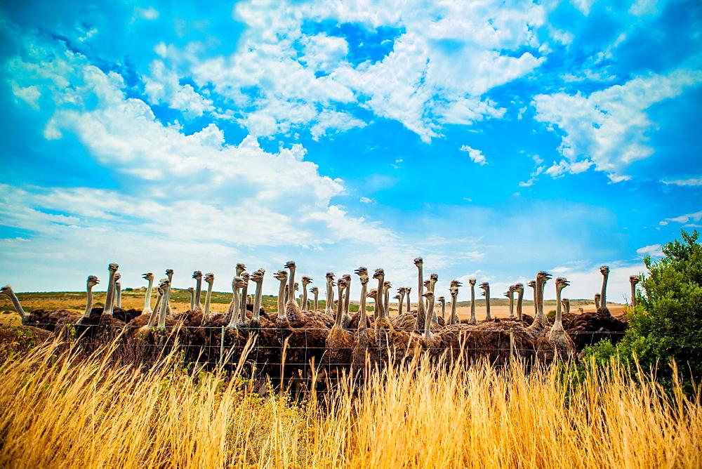 Ostrich Farm on the Garden Route, Knysna, South Africa, Africa