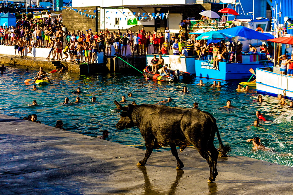 Running of the Bulls in Sao Mateus village on Terceira Island, Azores, Portugal, Atlantic, Europe - 1218-749