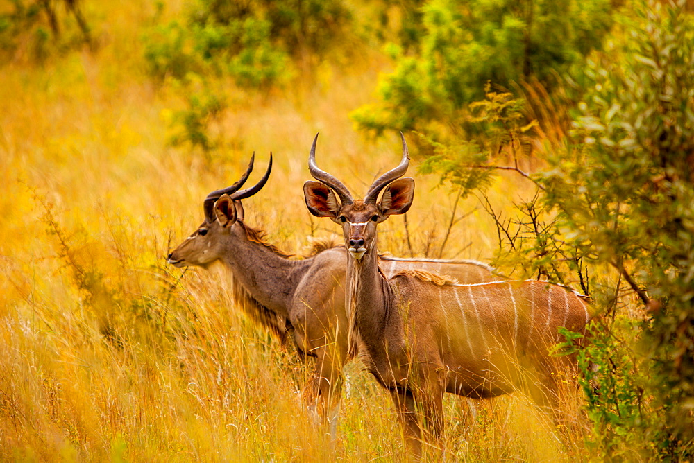 Wild African deer, at Kruger National Park, Johannesburg, South Africa, Africa