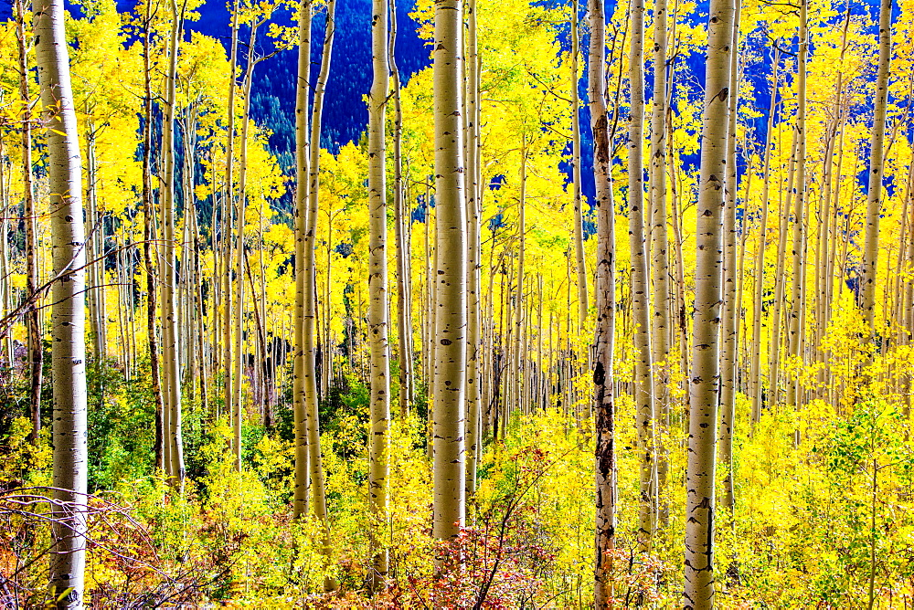 Aspen trees in the Fall, Aspen, Colorado, United States of America, North America