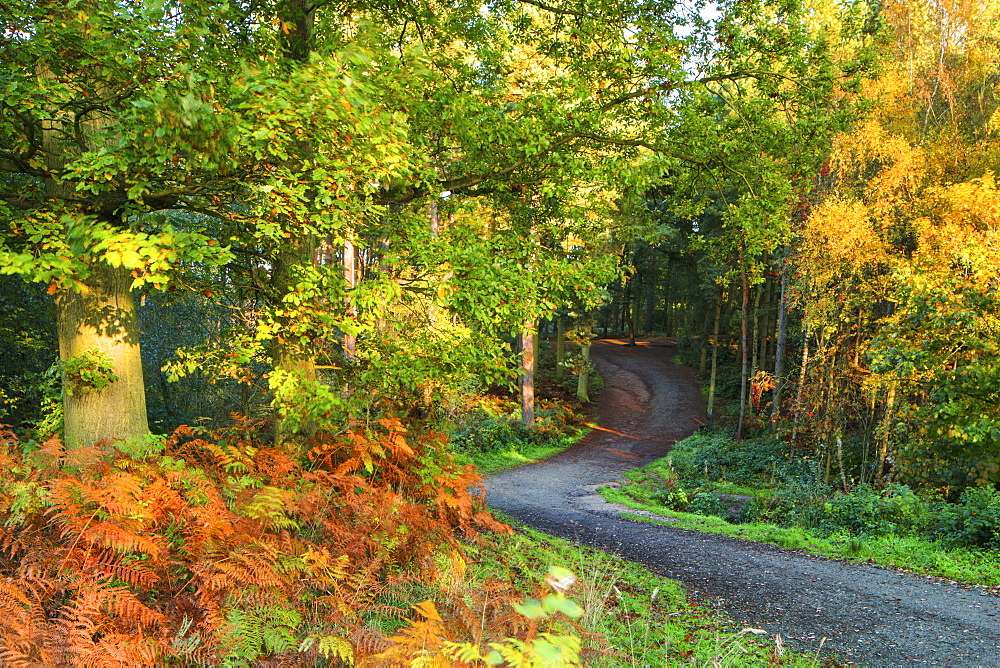 A track leads into Delamere Forest with autumn colour filling the landscape, Cheshire, England, United Kingdom, Europe - 1219-123