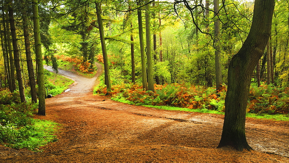 Woodland path within Delamere Forest on an autumn afternoon, Cheshire, England, United Kingdom, Europe - 1219-125
