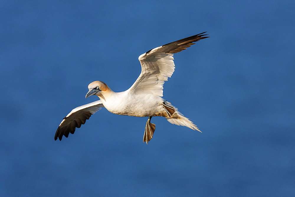 Gannet (Morus bassanus) in flight above the sea at Bempton cliffs, Yorkshire, England, United Kingdom, Europe