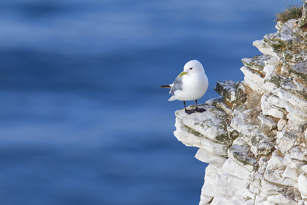 Kittiwake (Rissa tridactyla) looking out to sea perched on a narrow rocky ledge at Bempton cliffs, Yorkshire, England, United Kingdom, Europe - 1219-138