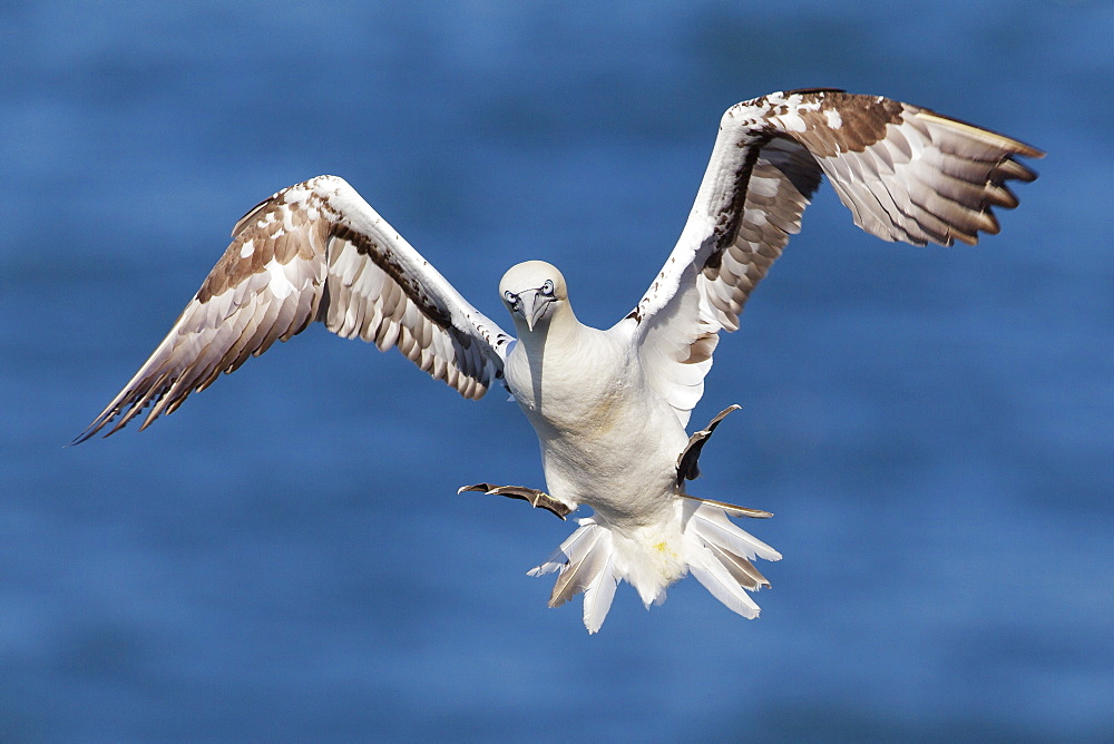 Juvenile gannet (Morus bassanus) in flight above the sea at Bempton cliffs, Yorkshire, England, United Kingdom, Europe
