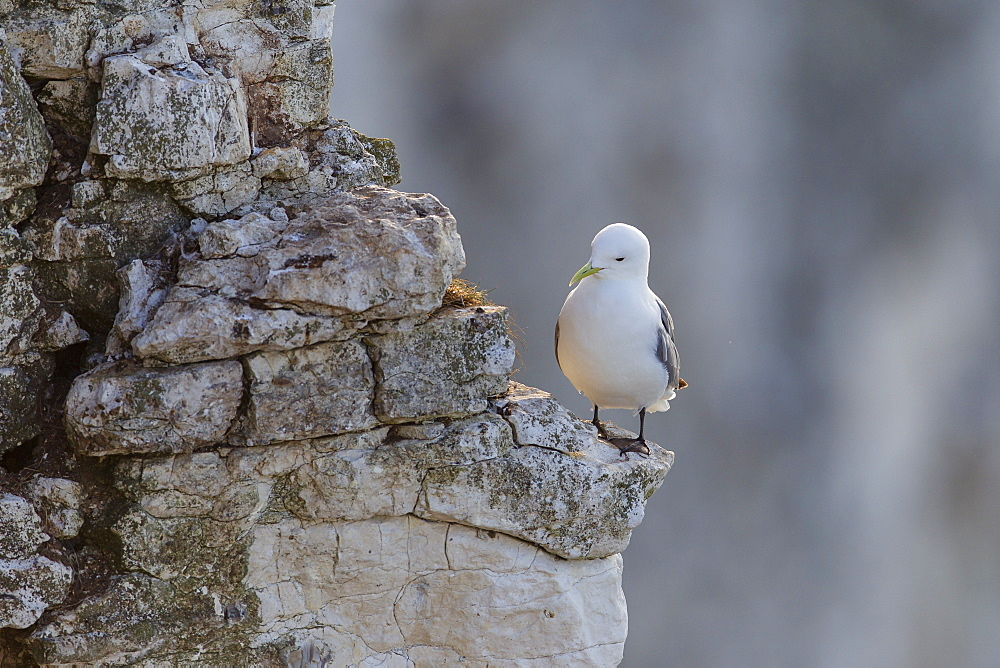 Kittiwake (Rissa tridactyla) perched on the edge of a ledge against a backdrop of cliffs at Bempton, Yorkshire, England, United Kingdom, Europe - 1219-140