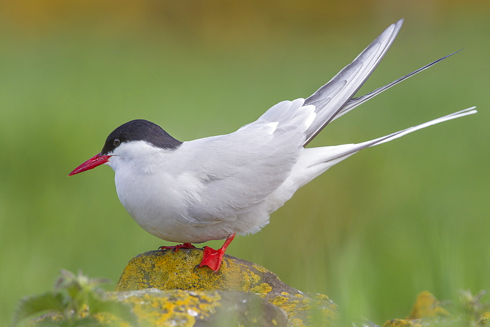 Arctic tern (Sterna paradisaea)perched on a rock on the Farne Islands, Northumberland, England, United Kingdom, Europe