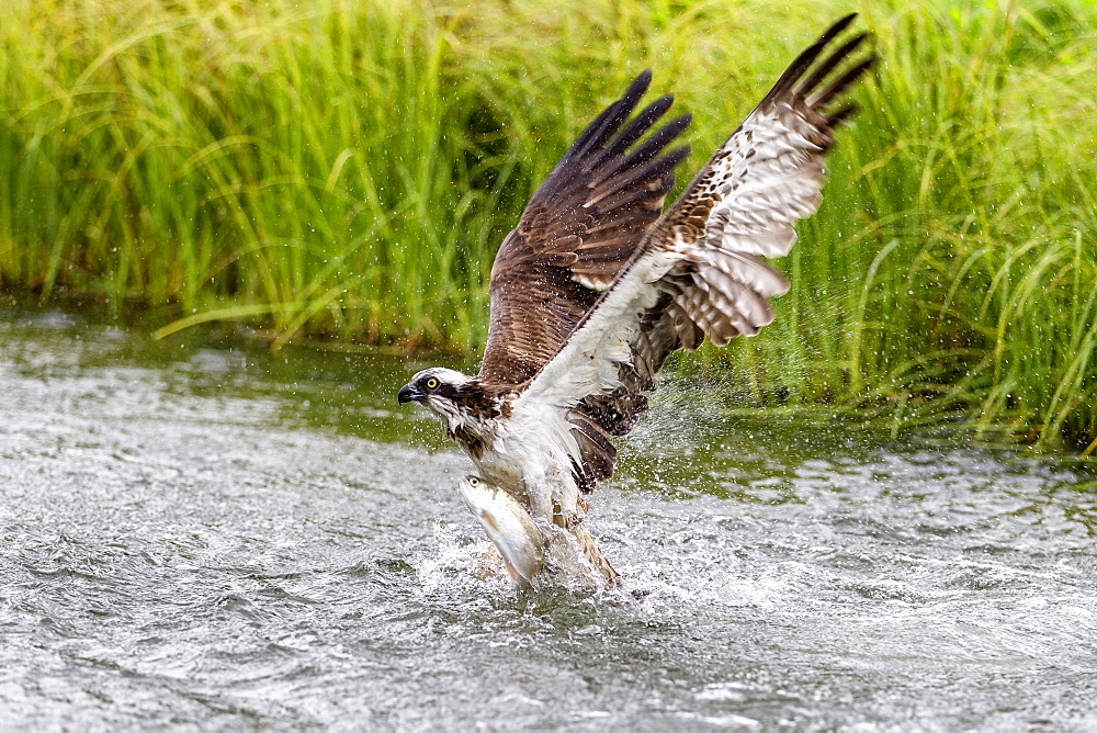 Osprey (Pandion haliaetus) exiting a small pond with its huge wings extended to create the energy to lift with a large fish, Pirkanmaa, Finland, Scandinavia, Europe
