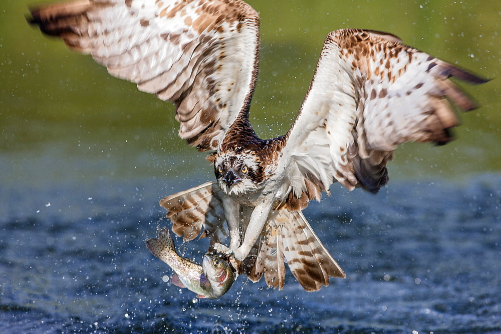 Osprey (Pandion haliaetus) flying head on above a pond with a fish firmly grasped in its talons, Pirkanmaa, Finland, Scandinavia, Europe