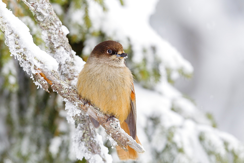 Siberian jay (Perisoreus infaustus), perched on a snow covered branch, Taiga Forest, Finland, Scandinavia, Europe - 1219-154