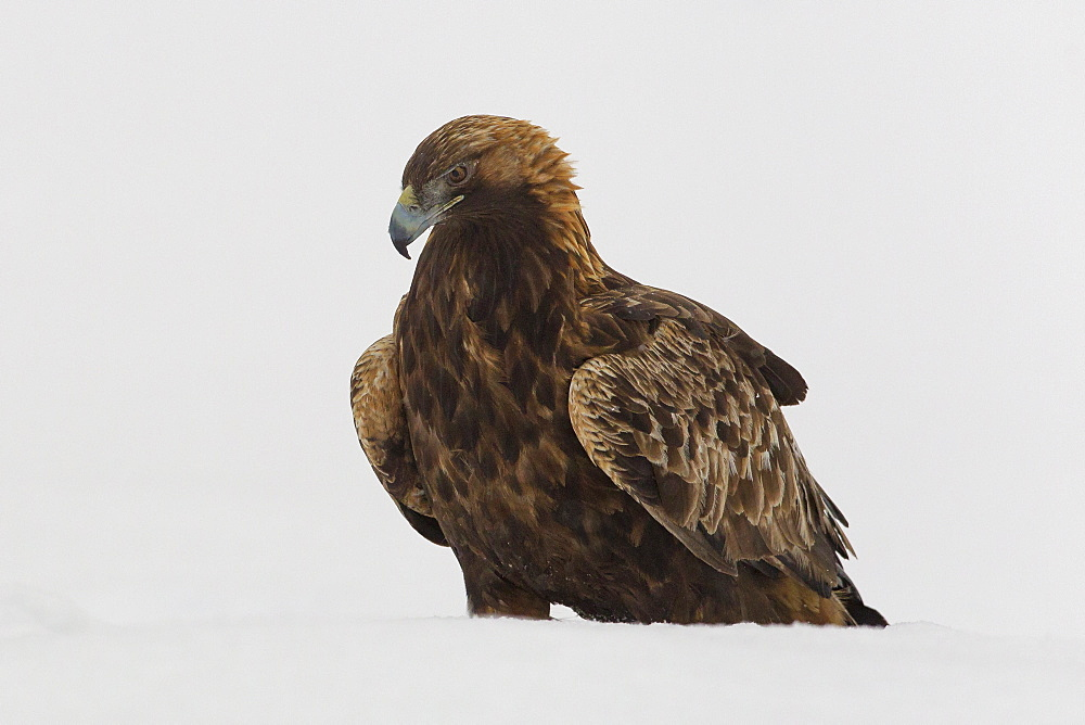 Adult golden eagle (Aquila chrysaetos) surrounded by snow during a harsh winter in the Taiga Forest, Finland, Scandinavia, Europe