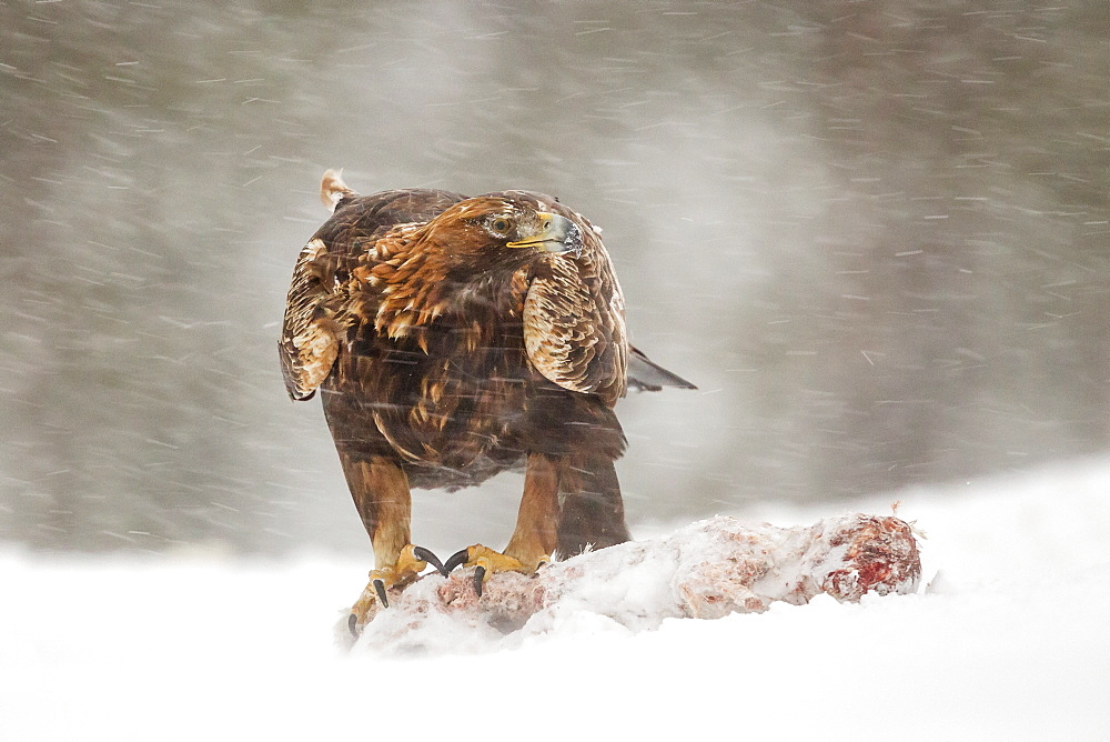 Adult golden eagle (Aquila chrysaetos), talons attached to prey during a snow blizzard and sub zero winter temperatures, Taiga Forest, Finland, Scandinavia, Europe