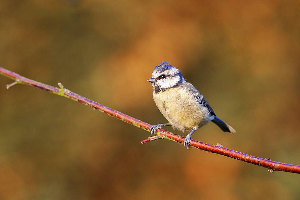 Blue tit (Cyanistes caeruleus) garden bird, perched on a dogwood branch in the autumn, Cheshire, England, United Kingdom, Europe - 1219-164