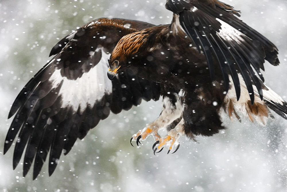 Juvenile golden eagle (Aquila chrysaetos) flying in the snow with claws out-stretched about to land on its prey, Taiga Forest, Lapland, Finland, Scandinavia, Europe