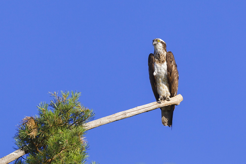 Osprey (Pandion haliaetus) perched at the end of a long branch extending from a pine tree in the Orleans Forest, Loiret, France, Europe - 1219-169
