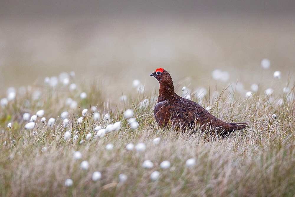 A male red grouse (Lagopus lagopus) on the ground in North Yorkshire Moors National Park, Yorkshire, England, United Kingdom, Europe - 1219-170