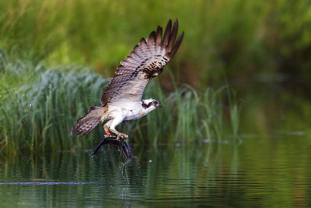 A satellite tracked osprey (Pandion haliaetus) flying above a small loch with a fish in its talons, Scotland, United Kingdom, Europe