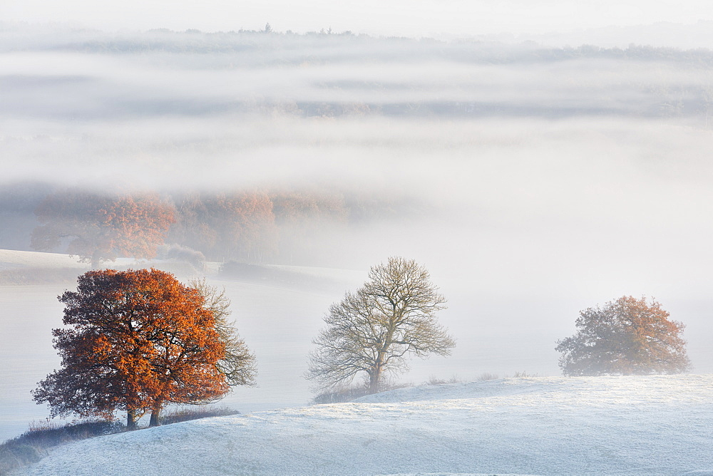 Fog flows around the trees of Delamere forest with autumn colour and frost on the Cheshire plain