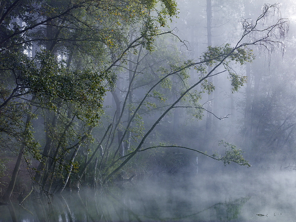 Enchanted forest, mist shrouds the trees around Dead Lake in Delamere Forest, Cheshire, England, United Kingdom, Europe - 1219-202