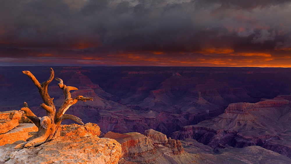 First light illuminates an old gnarled tree embedded in rocks with unsurpassed views of the Grand Canyon below, UNESCO World Heritage Site, Arizona, United States of America, North America