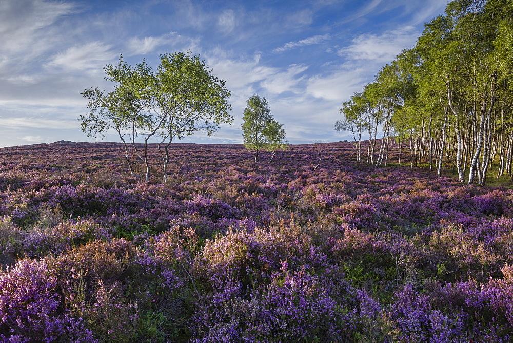 Purple heather (calluna vulgaris) in full summer bloom on the elevated moorland of the eastern Peak District at Millstone Edge, Peak District National Park, Derbyshire, England, United Kingdom, Europe