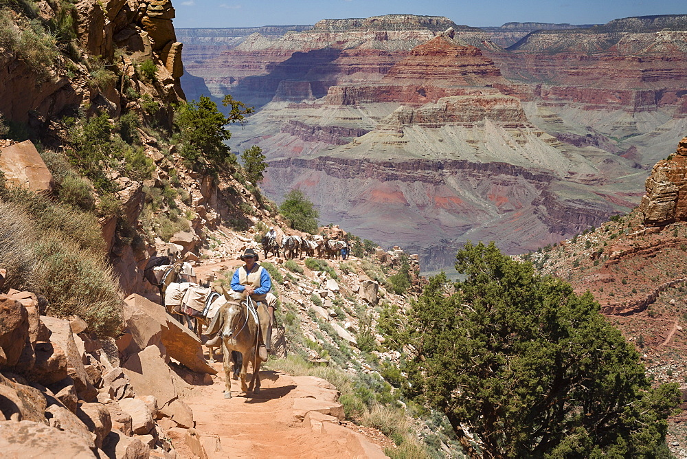 A cowboy wrangler leads a pack train of horses up the South Kaibab Trail in Grand Canyon National Park, UNESCO World Heritage Site, Arizona, United States of America, North America