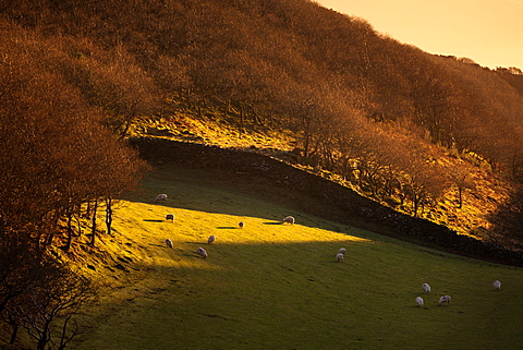 Sheep graze on short grass below hillside woodland in winter sunlight high above Barmouth on the coast below, Gwynedd, Wales, United Kingdom, Europe