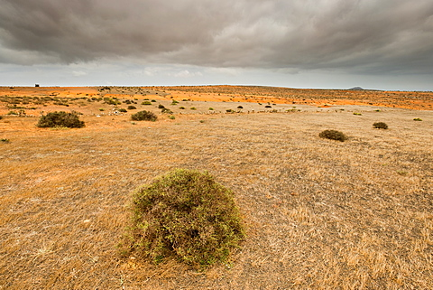 Spiky shrubs on open volcanic hilltop near Teguise in Central Lanzarote, Canary Islands, Spain, Europe
