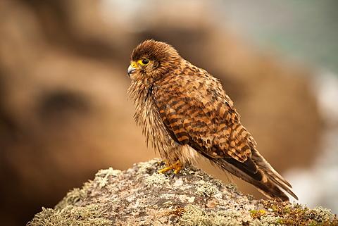 Young kestrel (Falco tinnunculus) on Cornish cliff top at Carn les Boel, Land's End, Cornwall, England, United Kingdom, Europe