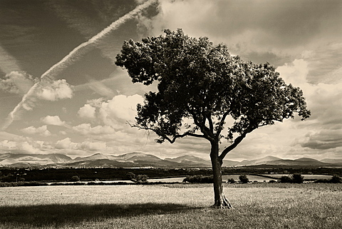 Tree in Anglesey field with Snowdonia mountains behind and a vapor trail in the sky, Anglesey, Wales, United Kingdom, Europe
