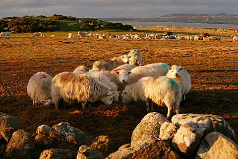Flock of sheep eating hay, Rhoscolyn headland, Anglesey, Wales, United Kingdom, Europe