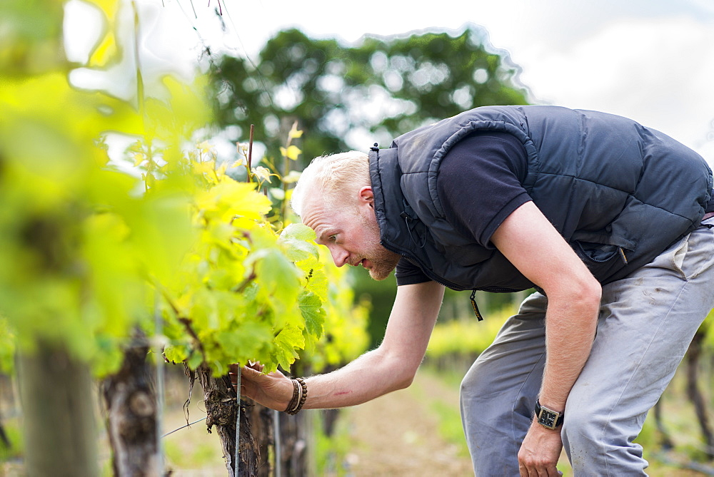 Inspecting budding grapes in a vineyard in Sussex, England, United Kingdom, Europe