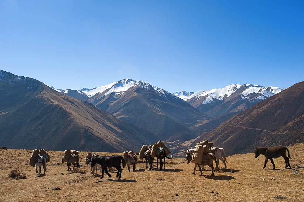 Pack horses cross a small pass near Goyul along the Lasa to Gasa trekking route, Bhutan, Himalayas, Asia
