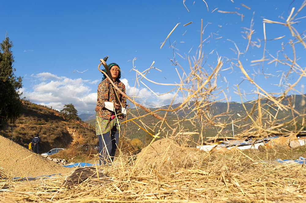 A girl removes grains of rice using a flail, Paro District, Bhutan, Asia