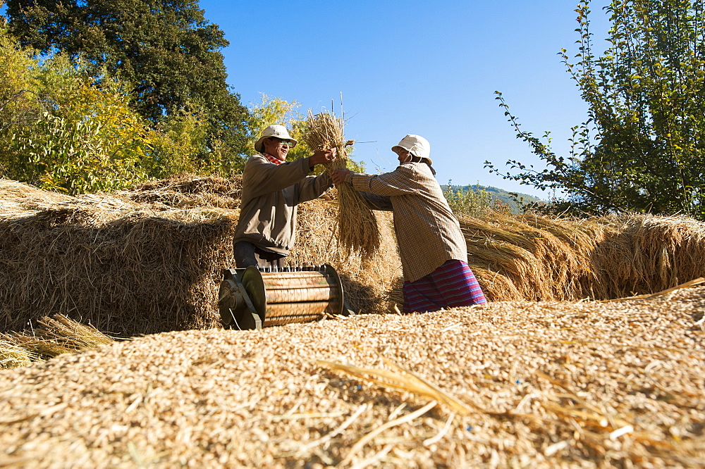 Farmers remove grains of rice using a manually powered threshing machine in Paro District, Bhutan, Asia