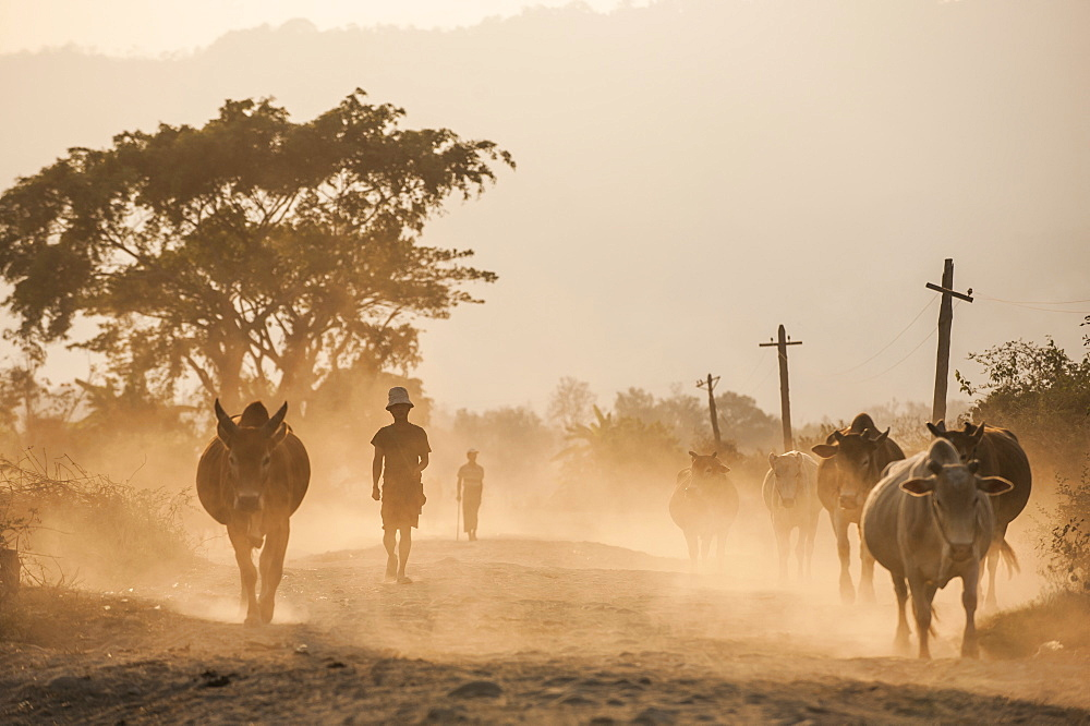 Famers bring their cows home along a dusty road in Kachin state in Myanmar