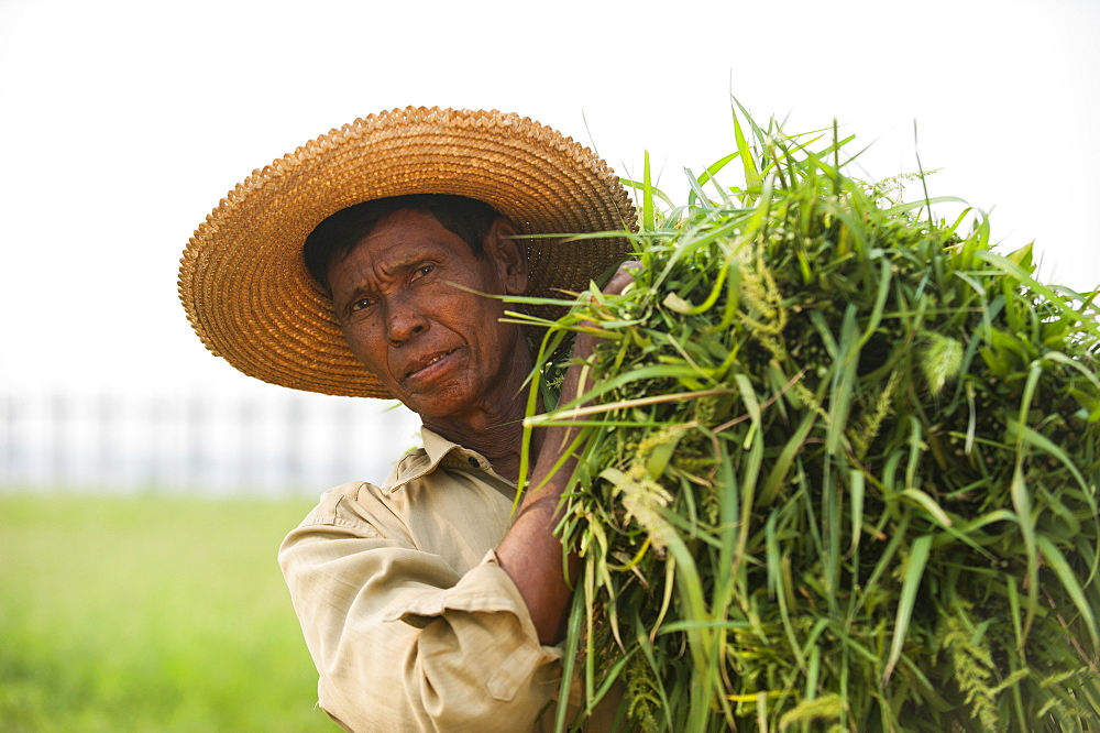 A man holds a bundle of grass which he has cleared from rice paddies, Mandalay State, Myanmar (Burma), Asia - 1225-1160