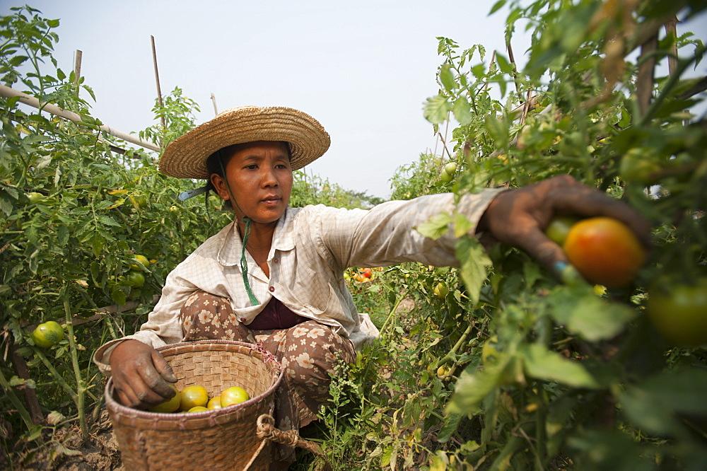 A woman picks tomatoes near Myitkyina, Kachin State, Myanmar (Burma), Asia - 1225-1162