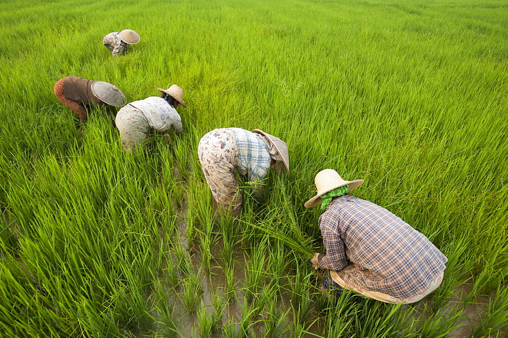 Women clear grass from rice paddies near Keng Tung, Shan State, Myanmar (Burma), Asia - 1225-1166