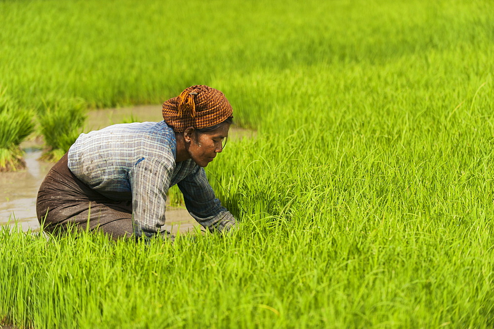 A woman near Inle Lake harvests young rice into bundles tol be re-planted spaced further apart to allow the rice to grow, Shan State, Myanmar (Burma), Asia