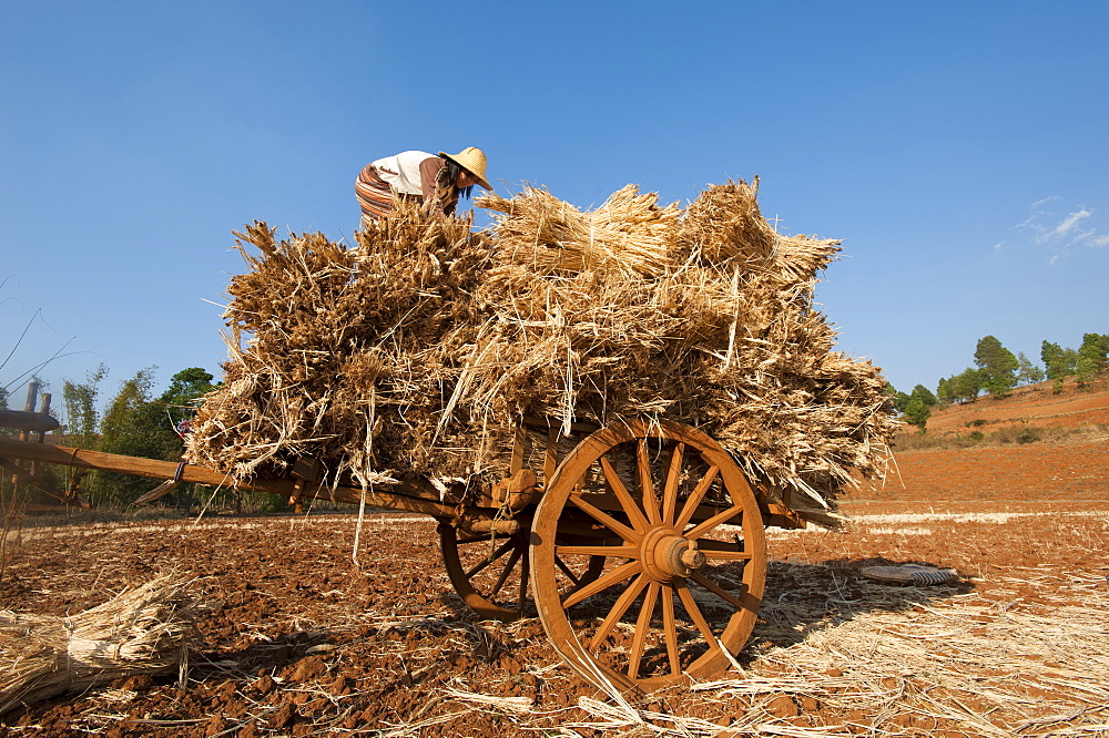 A girl loads bundles of harvested wheat on to a bull cart, Myanmar (Burma), Asia - 1225-1174