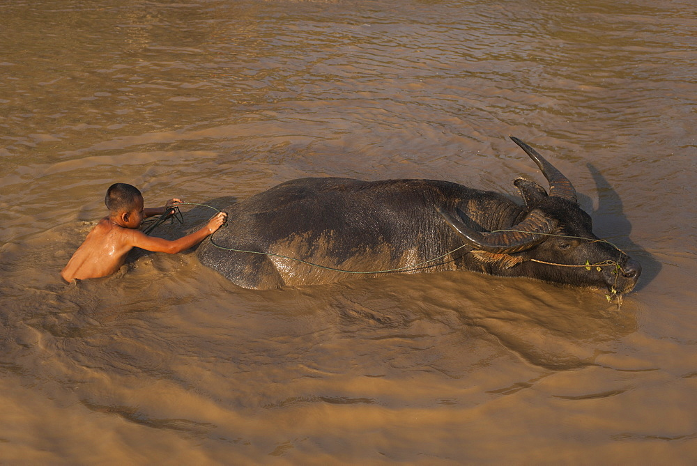A boy takes his buffalo into Inle Lake for a wash, Shan State, Myanmar (Burma), Asia - 1225-1176