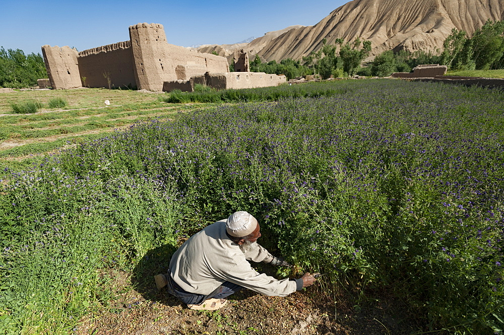 A farmer cuts purple flowers which will be used as fodder, Bamiyan Province, Afghanistan, Asia