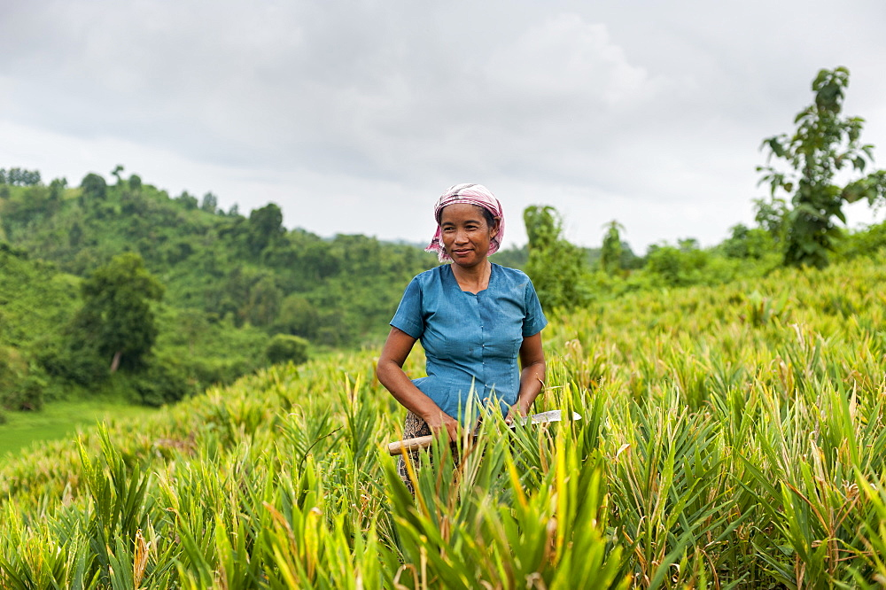 A Marma woman clearing weeds in a ginger field in the Chittagong Hill Tracts, Bangladesh, Asia