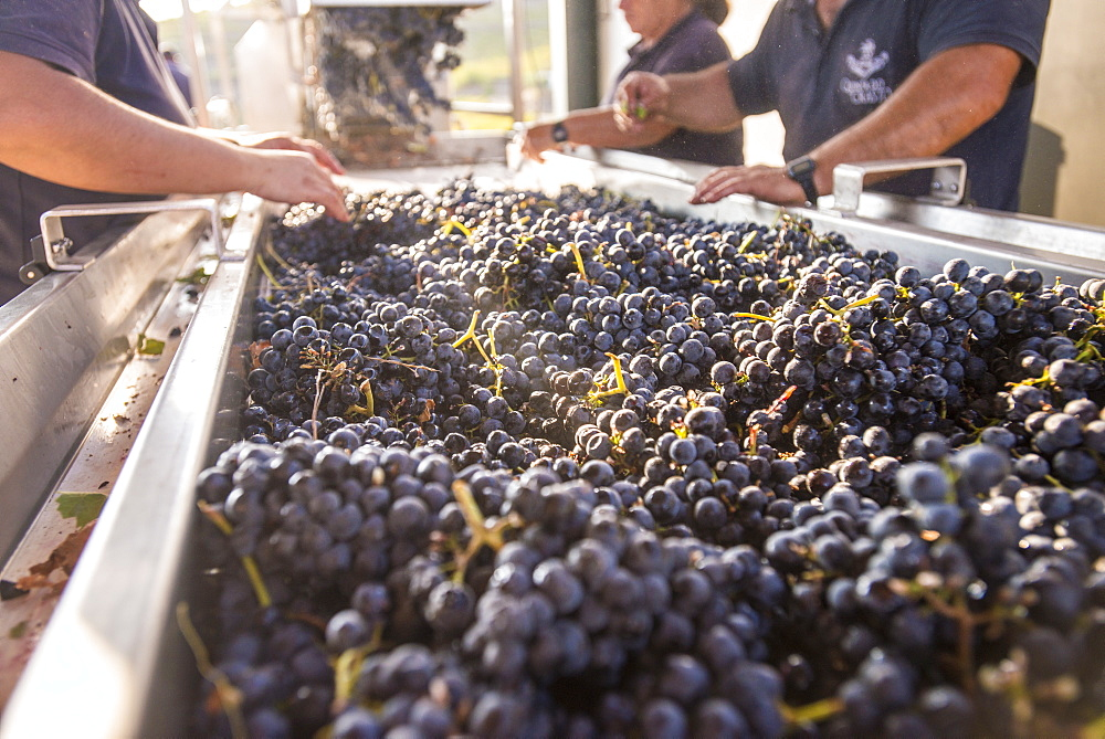 Sorting freshly harvested grapes at a winery in the Alto Douro region of Portugal, Europe - 1225-175
