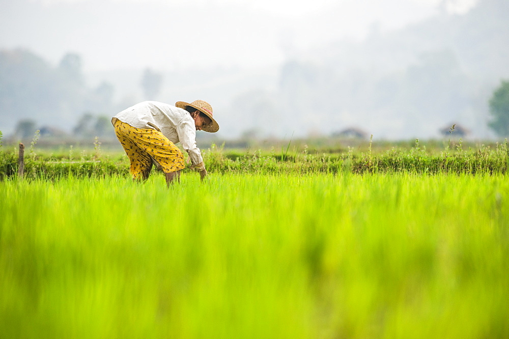 A woman plants rice in paddies near Myitkyina, Myanmar (Burma), Asia