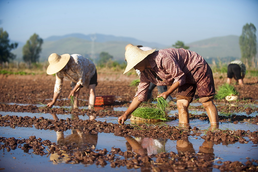 Women working in the fields plant vegetables in Yunnan Province, China, Asia - 1225-249