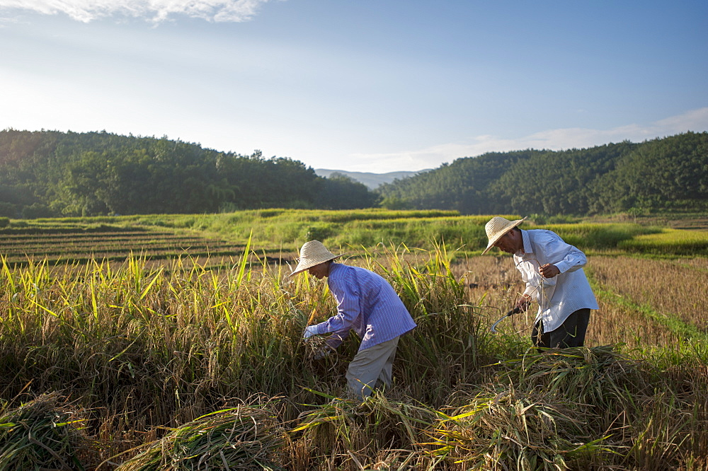 Farmers harvesting rice in the southern Yunnan Province, China, Asia